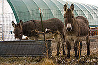Guard donkeys